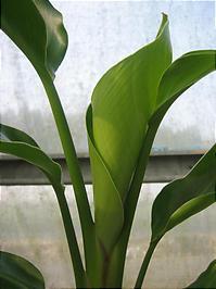 オーガスタの苗の成長