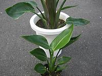 観葉植物の下葉