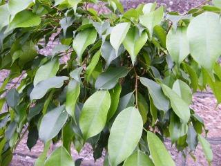 照り葉ベンジャミンの葉