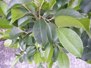 ベンジャミンの葉