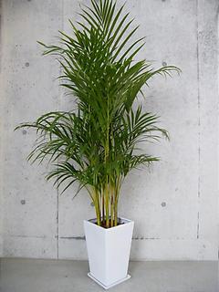 陶器鉢植えアレカヤシ