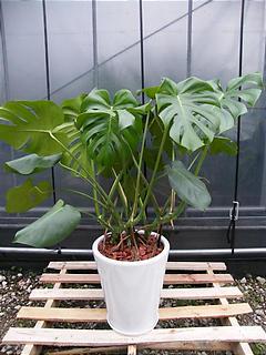 陶器鉢植えモンステラ