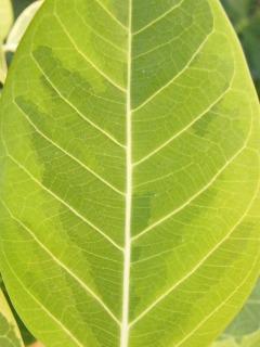普通のアルテシーマの葉