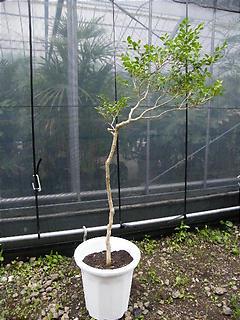 黄楊(ツゲ)の木
