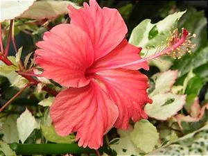斑入りハイビスカスの花