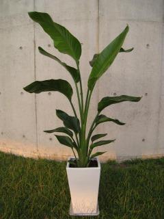 陶器鉢植えオーガスタ1