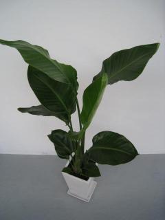 陶器鉢植えオーガスタ2