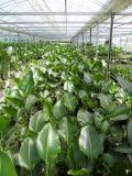 生産農園A