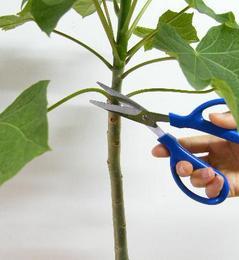 葉柄をハサミで切る