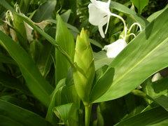 ジンジャーの花のつぼみ