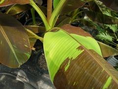 赤バナナ葉の拡大