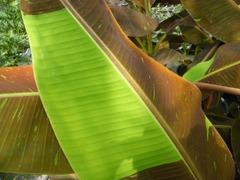 赤バナナの葉の拡大写真