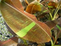 赤バナナの葉の拡大画像