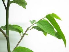 イランイランの木の切り戻し(剪定)