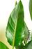ストレリチアの葉の縮れ