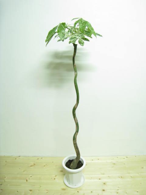 カモフラージュ・パキラ Size:140cm Price: 4300 カモフラージュパキラ(鉢.