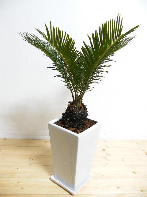 人気観葉植物ソテツ